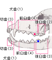 tooth37
